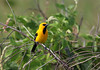 Yellow Oriole (Photo by guide Eric Hynes)