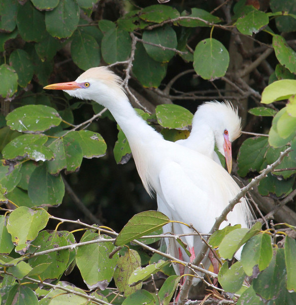 Cattle Egrets (Photo by participant Barb Wanless)