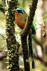Trinidad Motmot (Photo by participant Gregg Recer)