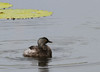 Least Grebe (Photo by participant Barb Wanless)