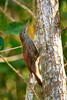 Straight-billed Woodcreeper (Photo by participant Gregg Recer)