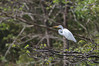 Great Egret (Photo by guide Eric Hynes)