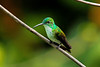 Continuing on the hummer theme: White-chested Emerald (Photo by participant Gregg Recer)