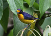 Male Violaceous Euphonia (Photo by guide Eric Hynes)