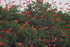 A cloud of Scarlet Ibis coming into the mangroves at Caroni Swamp to roost (Photo by guide Eric Hynes)
