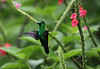 Copper-rumped Hummingbird at the Stachytarpheta (Photo by guide Eric Hynes)