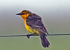 "Saffron-cowled-Blackbird   <br><div id=""caption_tourlink"" align=""right""> [photo © guide Alvaro Jaramillo]</div>"