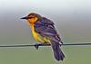 """Saffron-cowled-Blackbird   <br><div id=""""caption_tourlink"""" align=""""right""""> [photo © guide Alvaro Jaramillo]</div>"""