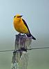 """Saffron-cowled Blackbird   <br><div id=""""caption_tourlink"""" align=""""right""""> [photo © guide Alvaro Jaramillo]</div>"""