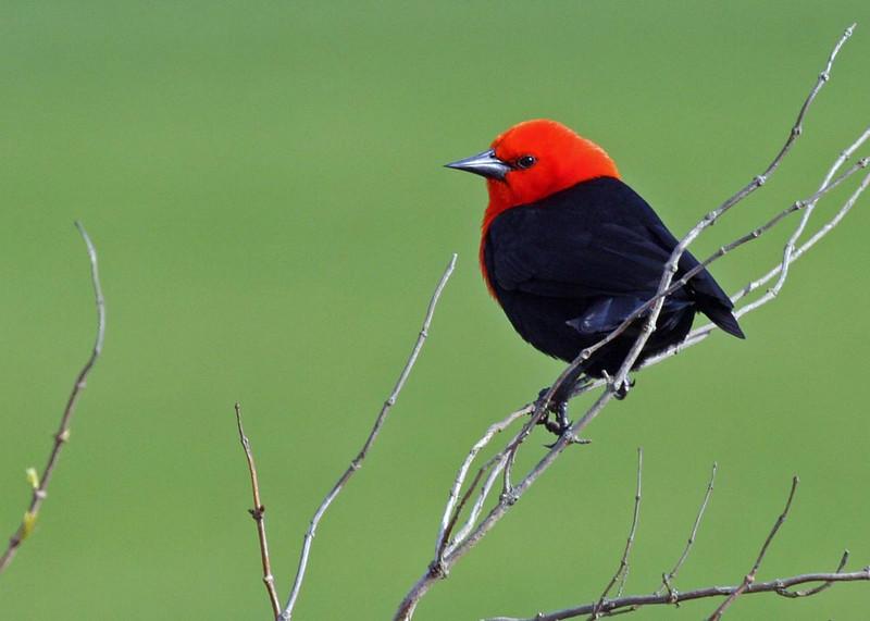 "Scarlet-headed Blackbird   <br><div id=""caption_tourlink"" align=""right""> [photo © guide Alvaro Jaramillo]</div>"