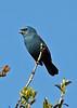 "Glaucous-blue Grosbeak   <br><div id=""caption_tourlink"" align=""right""> [photo © guide Alvaro Jaramillo]</div>"