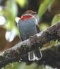 "Red-banded Fruiteater <div id=""caption_tourlink"" align=""right""> [photo © participant Dan Guthrie]</div>"