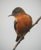 "Cliff Flycatcher  <div id=""caption_tourlink"" align=""right""> [photo © guide Jay VanderGaast]</div>"