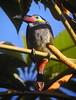 "Guianan Toucanet  <div id=""caption_tourlink"" align=""right""> [photo © guide Jay VanderGaast]</div>"