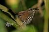 "Sharp-tailed Streamcreeper <div id=""caption_tourlink"" align=""right""> [photo © guide George Armistead]</div>"