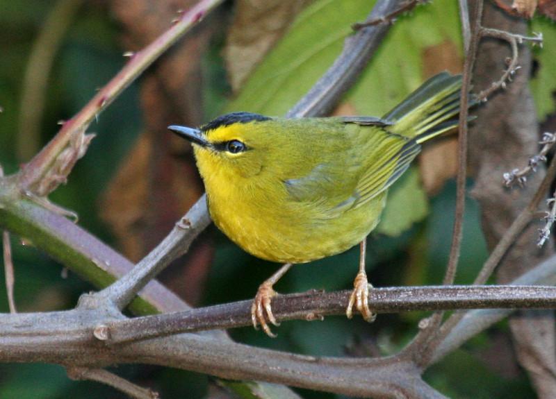 """Black-crested Warbler <div id=""""caption_tourlink"""" align=""""right""""> [photo © guide George Armistead]</div>"""