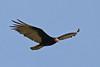 "Lesser Yellow-headed Vulture <div id=""caption_tourlink"" align=""right""> [photo © guide George Armistead]</div>"
