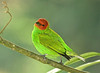 """Bay-headed Tanager <div id=""""caption_tourlink"""" align=""""right""""> [photo © guide George Armistead]</div>"""