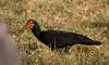 "Sharp-tailed Ibis <div id=""caption_tourlink"" align=""right""> [photo © guide George Armistead]</div>"