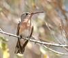 "Buffy Hummingbird <div id=""caption_tourlink"" align=""right""> [photo © guide George Armistead]</div>"