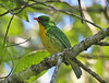 "Golden-breasted Fruiteater <div id=""caption_tourlink"" align=""right""> [photo © guide George Armistead]</div>"