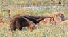 "Giant Anteater <div id=""caption_tourlink"" align=""right""> [photo © guide George Armistead]</div>"