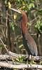 "Rufescent Tiger-Heron <div id=""caption_tourlink"" align=""right""> [photo © guide George Armistead]</div>"