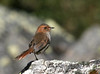 """Ochre-browed Thistletail <div id=""""caption_tourlink"""" align=""""right""""> [photo © guide George Armistead]</div>"""