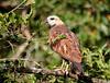 "Black-collared Hawk <div id=""caption_tourlink"" align=""right""> [photo © guide George Armistead]</div>"