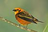 "Golden Tanager <div id=""caption_tourlink"" align=""right""> [photo © guide George Armistead]</div>"