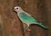 "Blue-gray Tanager  <div id=""caption_tourlink"" align=""right""> [photo © guide George Armistead]</div>"