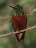 """The Chestnut-breasted Coronet, occurring mostly from 6000-9000' in montane forest, is one of the feistiest hummers at the Guango feeders. <br><div id=""""caption_tourlink"""" align=""""right""""> [photo © guide Richard Webster]</div>"""