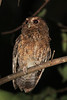"For Rufescent Screech-Owl we may need to drive back down the road to locate a calling bird. Fortunately, our birding friends at Wildsumaco often know where there are active territories. <br><div id=""caption_tourlink"" align=""right""> [photo © guide Richard Webster]</div>"