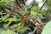 "A second set of Wildsumaco trails entails driving back up the road about a kilometer, to a disparate tract of the forest reserve. Here, a Coppery-chested Jacamar may call from a subcanopy perch... <br><div id=""caption_tourlink"" align=""right""> [photo © guide Richard Webster]</div>"