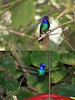 "When we're a bit bushed from birding the trails, we may want to sit and watch another set of feeders in the disjunct forest tract. Here we can see dazzling Golden-tailed Sapphires at close range... <br><div id=""caption_tourlink"" align=""right""> [photos © guide Richard Webster]</div>"
