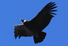 """Whatever the caracaras feed on no doubt attracts these giants as well. Antisana Reserve supports the largest remaining population of Andean Condors in Ecuador. With good weather (and a little luck) we could see half a dozen circling right overhead! <br><div id=""""caption_tourlink"""" align=""""right""""> [photo © guide Richard Webster]</div>"""