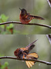"It also seems to enjoy a good bath more than most.  This bathing beauty exposed every part of its body to the falling rain, its bath lasting about 15 minutes! <br><div id=""caption_tourlink"" align=""right""> [photos © guide Richard Webster]</div>"