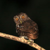 "And this little screech-owl--the race napensis of Vermiculated Screech-Owl--can sometimes be heard right from our rooms (and then seen!). <br><div id=""caption_tourlink"" align=""right""> [photo © guide Richard Webster]</div>"
