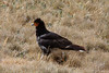 """...the abundance of carrion-eating Carunculated Caracaras. This is probably the best place in Ecuador for this raptor. <br><div id=""""caption_tourlink"""" align=""""right""""> [photo © guide Richard Webster]</div>"""