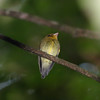 "Another real specialty at Wildsumaco is the rare and local Yellow-throated Spadebill, a small and generally inconspicuous flycatcher of the mid-story. When we do this set of trails, the spadebill will be one of our targets, along with Blue-rumped Manakin and Gray-tailed Piha. There's much to seek at Wildsumaco! <br><div id=""caption_tourlink"" align=""right""> [photo © guide Richard Webster]</div>"