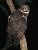 "We won't have to go far from the lodge to have a shot at the big Band-bellied Owl, a foothills replacement of Spectacled Owl. <br><div id=""caption_tourlink"" align=""right""> [photo © guide Richard Webster]</div>"