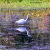A Great Egret in Crab Orchard National Wildlife Refuge in Southern Illinois