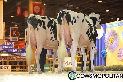 Holstein Junior