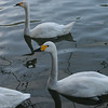 Swans, the West Lake, Hangzhou.