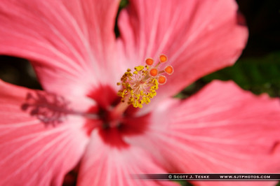 Hibiscus Closeup