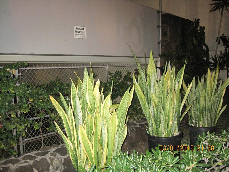 snake plants..