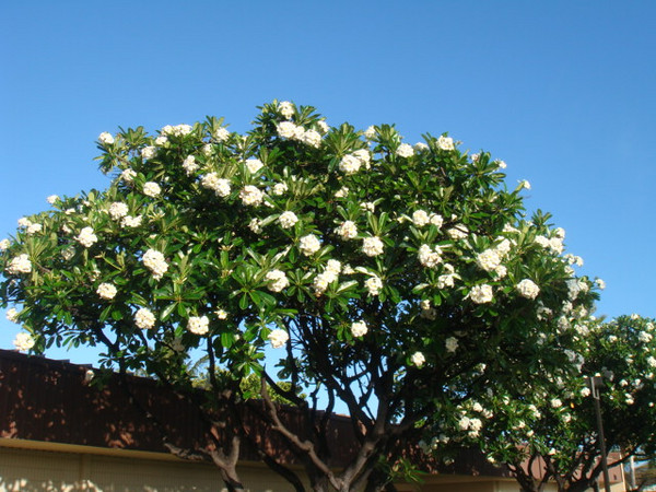 060309 beautiful Plumeria trees outside commissary store..  flowers can be used for leis...