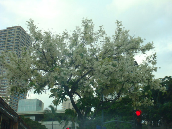 beautiful shower tree on the street.. yeah ,on the way home, corner of Saratoga and Kalakaua...