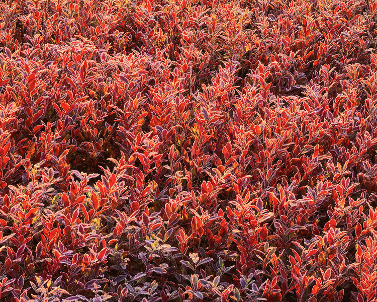 Frost On Low-bush Blueberries III