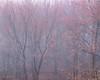 Budding Maple Trees in Morning Fog I